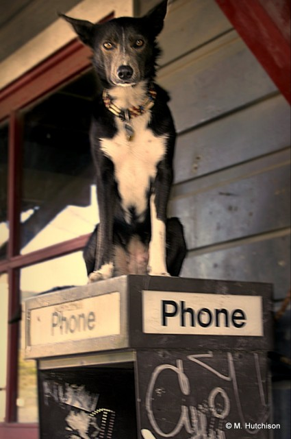 Pay Phone Dog