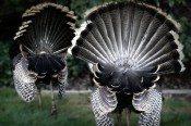 Wild Turkeys at Dublin Apartment Complex