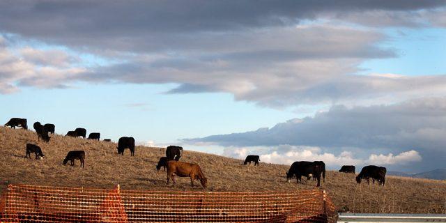 Cows Grazing near Fallon Rd. Development, Dublin, CA