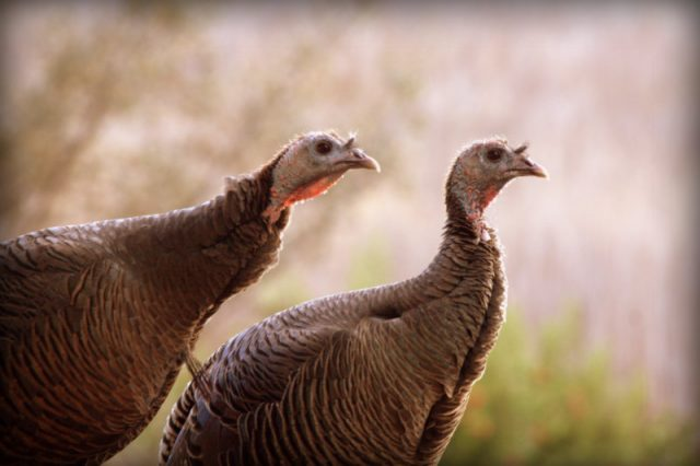 Turkeys, San Ramon, CA 2014